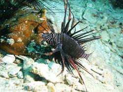 BD-070401-Similan-4010921-Pterois-volitans-(Linnaeus.-1758)-[Red-lionfish.-Drakfisk].jpg